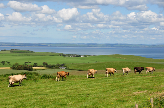 Jersey Cows, Kirkbride Farm, Dumfries & Galloway